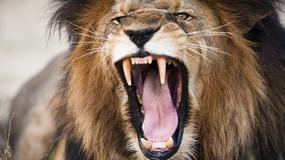 Kenia: lew uciekł z parku i zaatakował mężczyznę