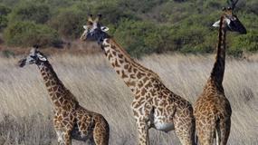 Najwyższe zwierzę świata
