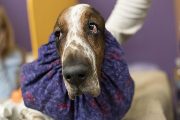 Egy basset fajtájú kutya is indult a versenyen/ Fotó: MTI