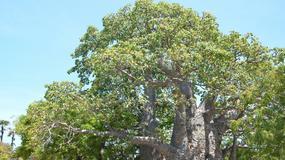 Zagadka drzewa, które rozgniewało Boga