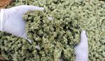 SAMO LEGALNO Kanadski univerzitet pokreće kurs za uzgoj i prodaju marihuane