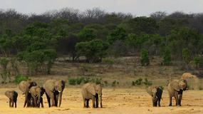 Zimbabwe - 14 słoni otrutych przez kłusowników