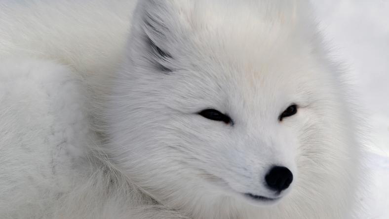A sarki róka csapdába esett /Fotó: Northfoto