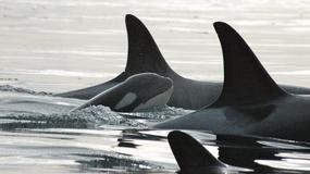 """""""Babunia"""" to najstarsza orka na świecie. Urodziła się rok przed zatonięciem Titanica"""