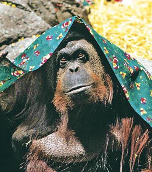 majom felállítása porc került ki a péniszen