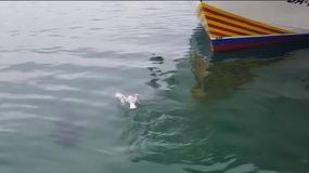 Tuńczyk połknął mewę, a następnie ją wypluł