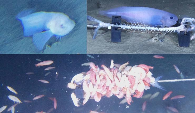 """A sötétségben élő kísérteties új faj a """"snail fish"""" (kb. csigahal) étkezési, illetve egyéb szokásaikat vették filmree / Fotó: Northfoto"""