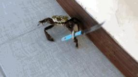 Wkurzony krab wymachuje nożem na ulicy