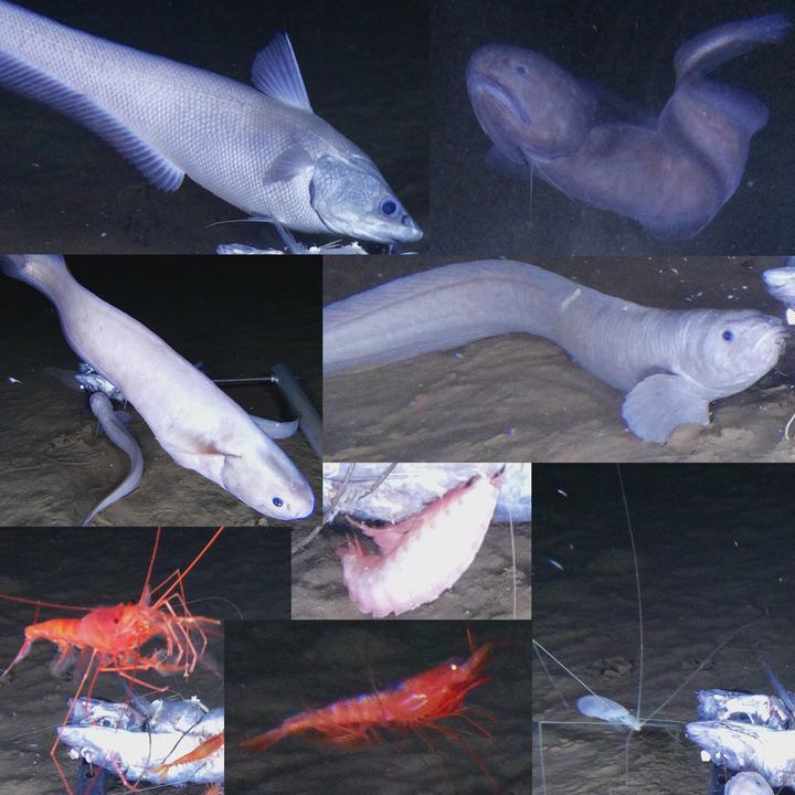 """A koromfekete sötétségben élő kisérteties új faj a """"snail fish""""l / Fotó: Northfoto"""