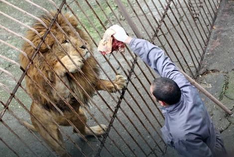 Samo za slikanje: Pravilo je da hranitelj ne sme da bude u kavezu sa životinjom, a posetiocima je zabranjeno da ih hrane, kaže Petar Jovanović