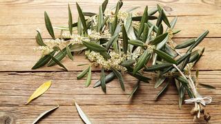 Liść oliwny – sposób na zimę i piękny wygląd
