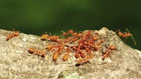 Boliwia: jadowite mrówki karą za kradzież; złodzieje omal nie zginęli