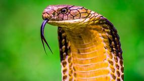 20 najniebezpieczniejszych zwierząt świata. Czy któreś z nich można spotkać w Polsce?