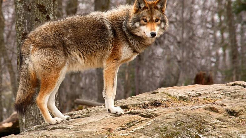 Megritkítaná a farkasállományt Olaszország /Fotó: Northfoto