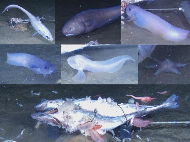 Kutatóknak sikerült olyan bizarr halakra bukkanni, melyek közel 9 kilométer mélyen élnek a Csendes-Óceánban  / Fotó: Northfoto
