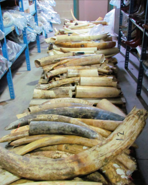 The endemic corruption in sub-Saharan states, including Nigeria, the Democratic Republic of Congo and Cameroon has led to poaching and trafficking levels that risk extinction for elephants and pangolins in the region. Photo by US FIsh and Wildlife Service.