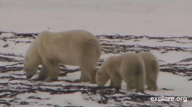 Kamera live - niedźwiedzie polarne
