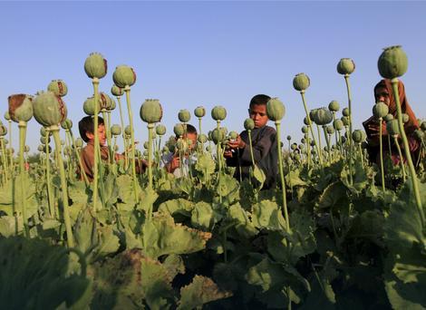 Radnici na avganistanskom polju opijumskog maka
