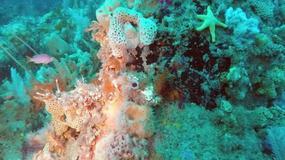 Czy nowo odkryta rafa koralowa dorówna Wielkiej Rafie Koralowej?