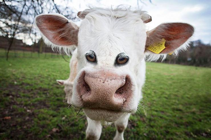 A tehenek látványát nem tudnánk egyből megszokni / Fotó: boredpanda.com