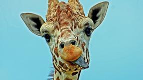 Czy widzieliście kiedyś śpiewającą żyrafę? My też nie [WIDEO]