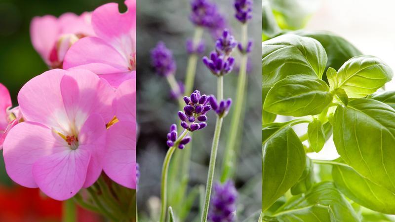 Rośliny, które odstraszają komary i muchy