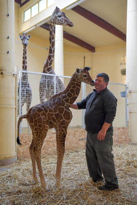 Ma mutatják be a nagyközönségnek a debreceni állatkert recés zsiráfcsikóját /Fotó: MTI - Czeglédi Zsolt