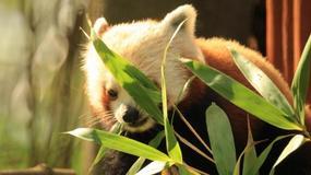 """Pierwsza taka panda w oliwskim zoo. """"Bartek uwielbia długo spać"""""""
