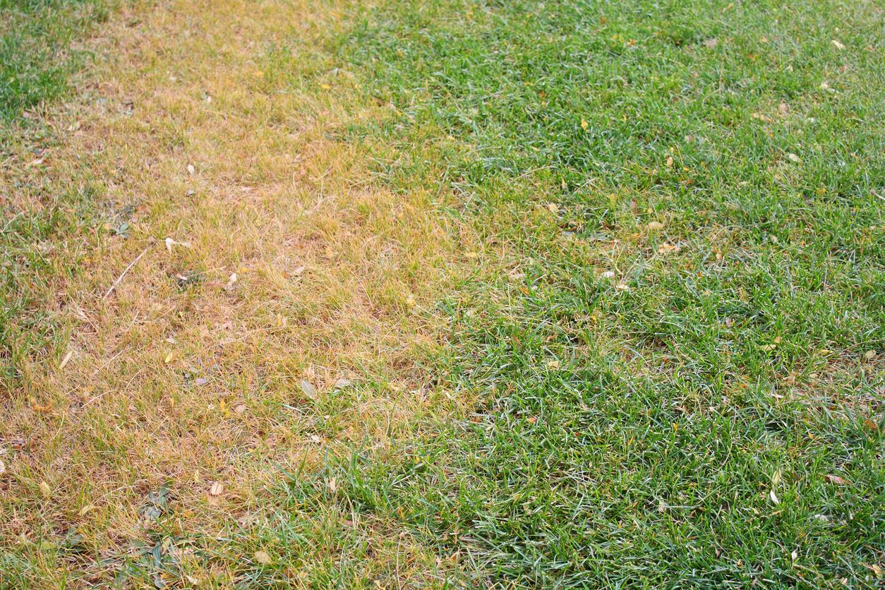fű parazita sárga, ahogy nevezik)