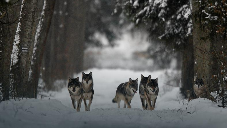 Wie markieren Wölfe ihr Revier? – Tiere Wolf
