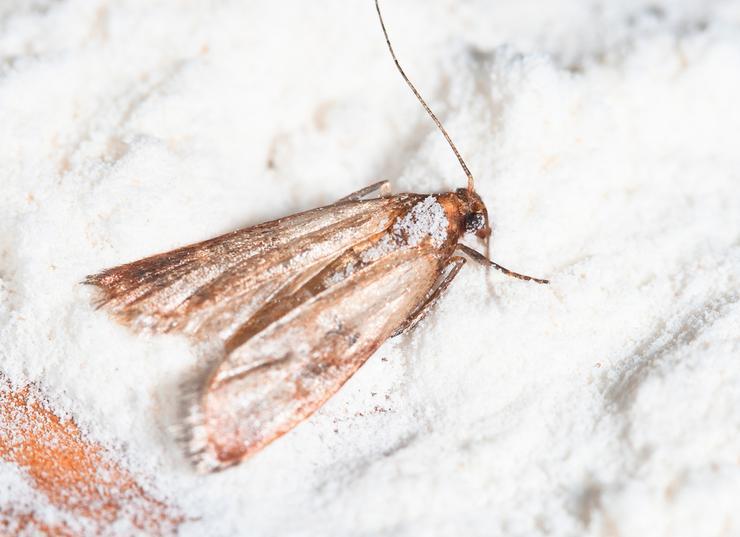 Mklik mączny (Ephestia kuehniella), czyli popularny mól spożywczy - jak się go pozbyć