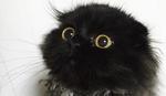 PRVE OKICE ŠKOTSKE Džimo, mačka sa hipnotišućim pogledom