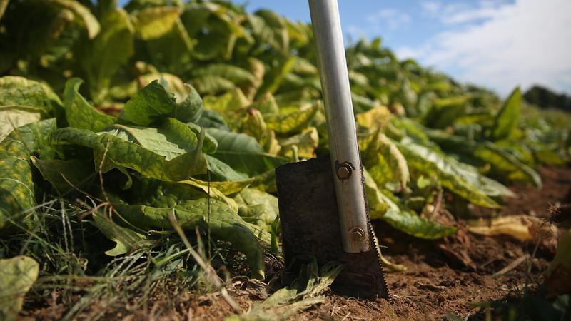 Siekiera używana do pracy na polach tytoniu