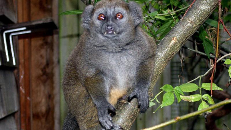Lemur zwany Christianem Greyem (fot. booklips.pl)