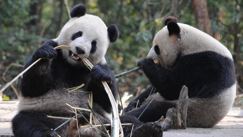 A panda az egyik legkedvesebb állat a világon /Fotó: Northfoto