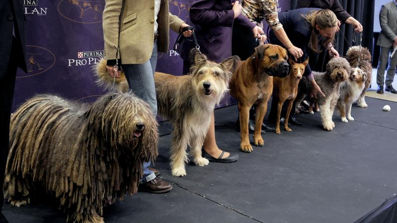 A kutyakiállítás a Madison Square Gardenben volt / Fotó: Northfoto