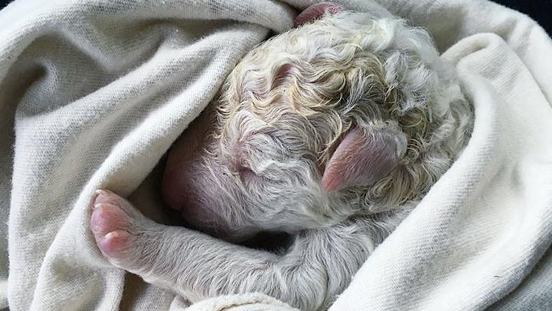 Stella, az abruzzói juhászkutya egyik kölyke./ Fotó: Facebook/Napa Grass Farmer