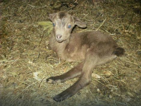 Koza je jare hranila samo prva dva dana, a onda ga je odbacila