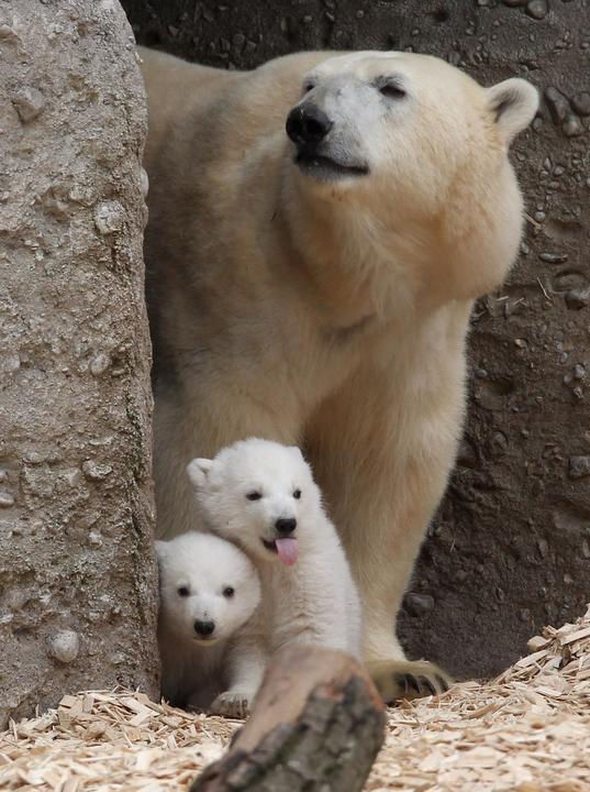 Ugye senki sem szeretné, ha kihalnának a jegesmedvék csak azért, mert nem vigyázunk a Földünkre? / Fotó: EUROPRESS-GETTYIMAGES