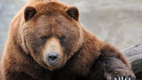 W Tatrach na szlaku znaleziono sparaliżowanego niedźwiedzia