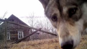 Dzika przyroda opanowała Czarnobyl