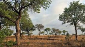 Niezwykła moc kamuflażu. Widzisz geparda na tym zdjęciu?