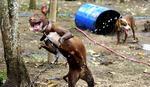 Pitbulovi korišćeni za borbe pasa na Filipinima moraće da budu uspavani