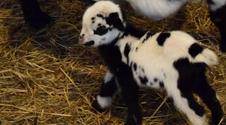 Oto Kreska i Przecinek. Bliźniaki urodziły się w poznańskim zoo