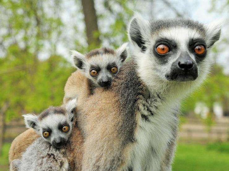 Így élnek Nyíregyházán gyűrűsfarkú makik / Fotó: Nyíregyházi Állatpark Nonprofit Kft.