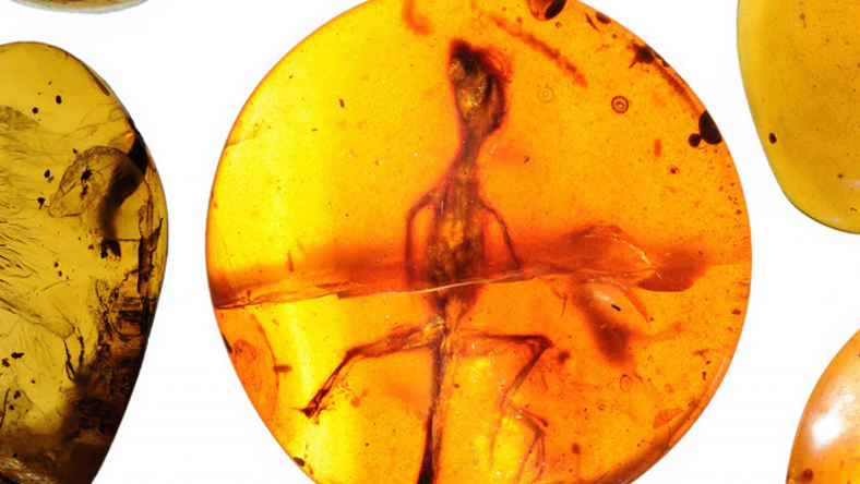 Borostyánba kövültek a gekkók /Fotó: Science Advances
