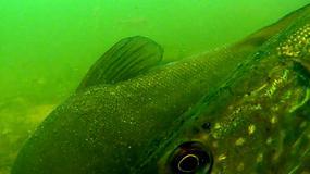Ryby na żywo - kamera z mazurskiego jeziora pozwala podglądać ryby w internecie
