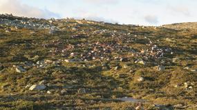 Piorun zabił ponad 300 reniferów w Norwegii