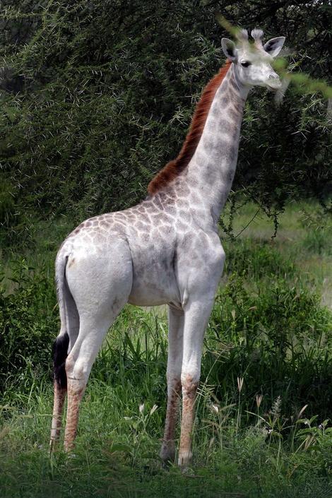 EXPRES - U Tanzaniji otkrivena bela žirafa