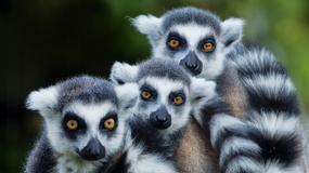 Madagaskar - atrakcje tropikalnej wyspy na końcu świata; kraj endemitów i niezwykłych krajobrazów